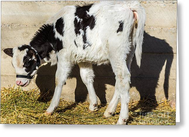 Yearling Greeting Cards - Baby Cow Eats Lunch in the Sun Greeting Card by Gary Whitton