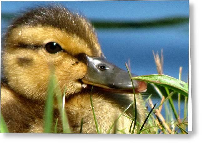 Baby Mallards Digital Art Greeting Cards - Baby Duck Greeting Card by Jason Stroffoleno