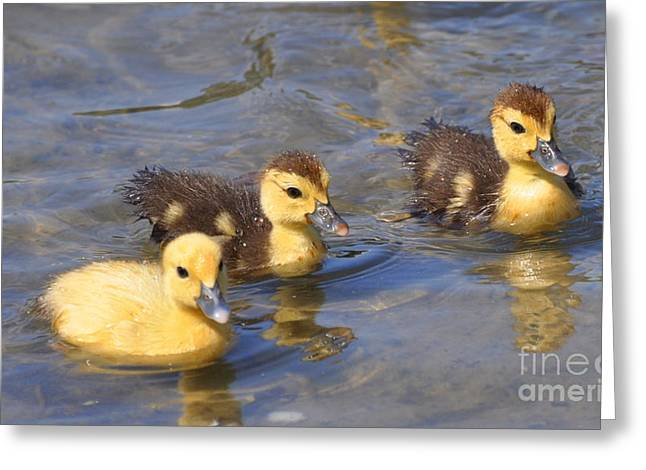 Baby Mallards Digital Art Greeting Cards - Baby Ducks Greeting Card by Timothy Rinck