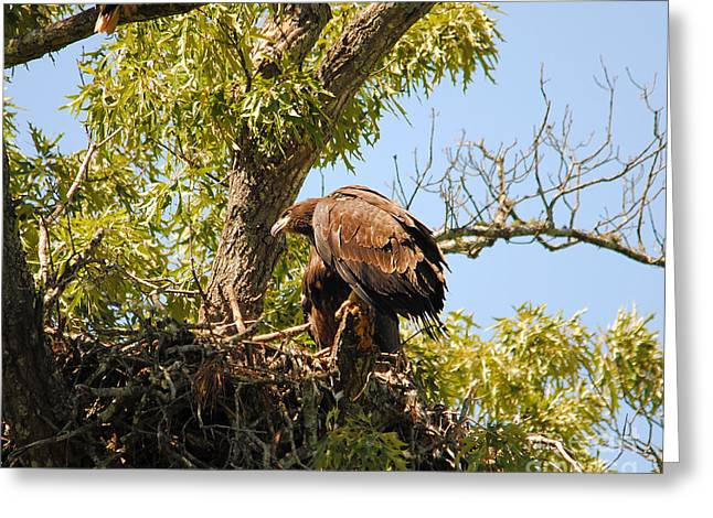 Eagle Greeting Cards - Baby Eagle Perched on Nest Greeting Card by Jai Johnson