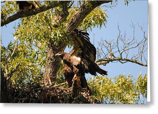 Eaglet Greeting Cards - Baby Eagle Stretching His Wings Greeting Card by Jai Johnson