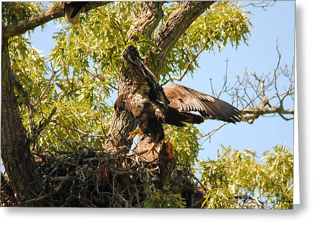 Eagle Greeting Cards - Baby Eagle Trying to Fly II Greeting Card by Jai Johnson
