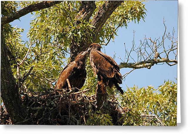 Eagle Greeting Cards - Baby Eagles Kissing Greeting Card by Jai Johnson