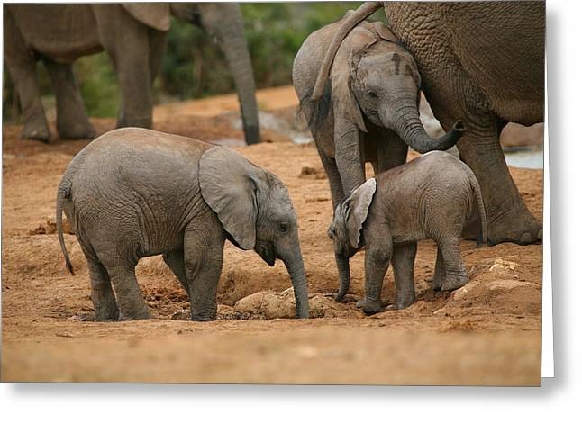 Addo Greeting Cards - Baby Elephant Gathering Greeting Card by Bruce J Robinson
