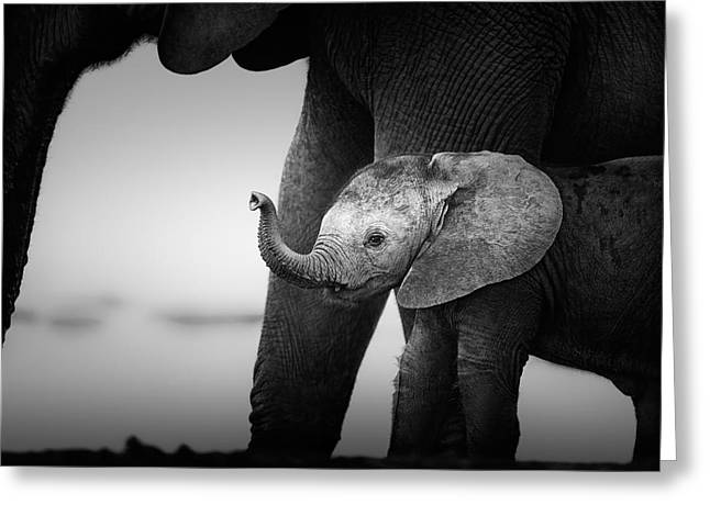 Monochrome Greeting Cards - Baby Elephant next to Cow  Greeting Card by Johan Swanepoel
