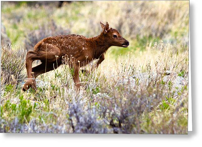 First Step Greeting Cards - Baby Elk Greeting Card by Shane Bechler