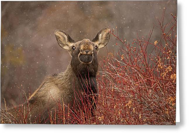 Snowstorm Greeting Cards - Baby Face Greeting Card by Sandy Sisti