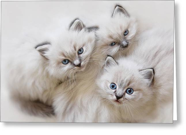 Ragdoll Greeting Cards - Baby Faces Greeting Card by Lori Deiter