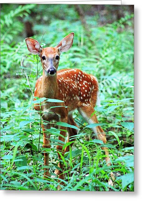 Most Viewed Digital Greeting Cards - Baby Fawn Greeting Card by Lorna Rogers Photography
