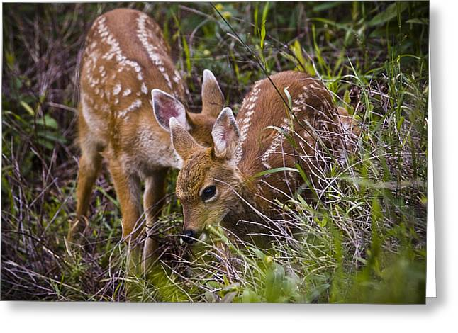 Two Deer Greeting Cards - Baby Fawns Greeting Card by Chad Davis
