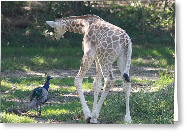 Baby Giraffe And Peacock Out For A Walk Greeting Card by John Telfer