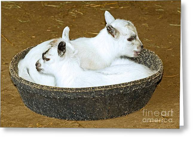 Sleeping Baby Animal Greeting Cards - Baby Goats Lying In Food Pan Greeting Card by Millard H. Sharp