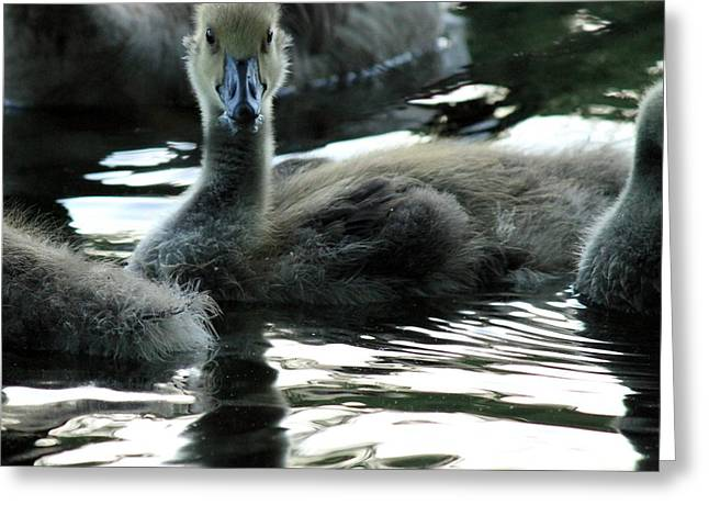 Best Selling Ocean Art Greeting Cards - Baby Goose Greeting Card by Matthew Grice