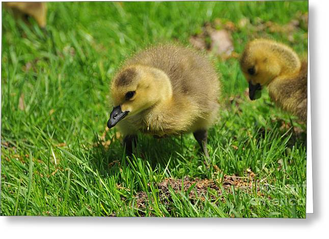 Baby Bird Greeting Cards - Baby Goose Too Cute Greeting Card by Paul Ward