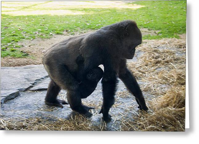 Gorilla Digital Greeting Cards - Baby Gorilla On The Move With Mom Greeting Card by Chris Flees