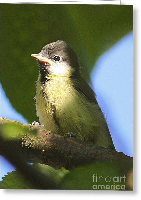 Terri Waters Greeting Cards - Baby Great Tit Greeting Card by Terri  Waters