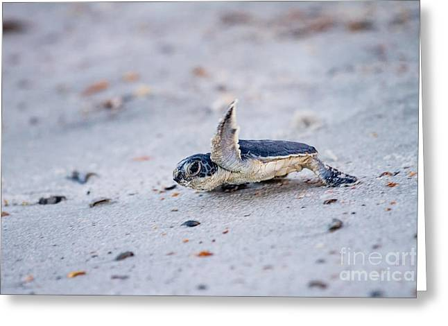 Recently Sold -  - Sea Animals Greeting Cards - Baby Green Sea Turtle  Greeting Card by Dawna  Moore Photography