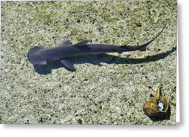 Baby Shark Greeting Cards - Baby Hammerhead Shark Greeting Card by Debra Souter