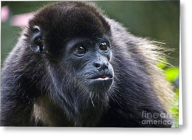 Zoologic Greeting Cards - Baby Howler Monkey  Greeting Card by Heiko Koehrer-Wagner