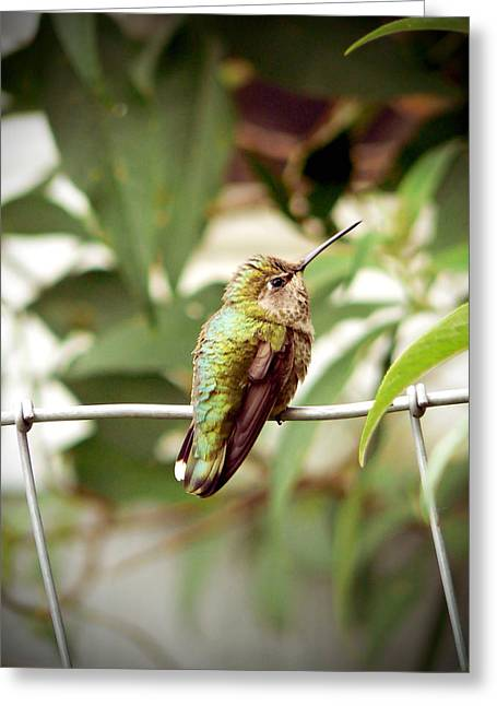 Migrating Hummingbird Greeting Cards - Baby Hummingbird in a Garden Greeting Card by Pamela Patch