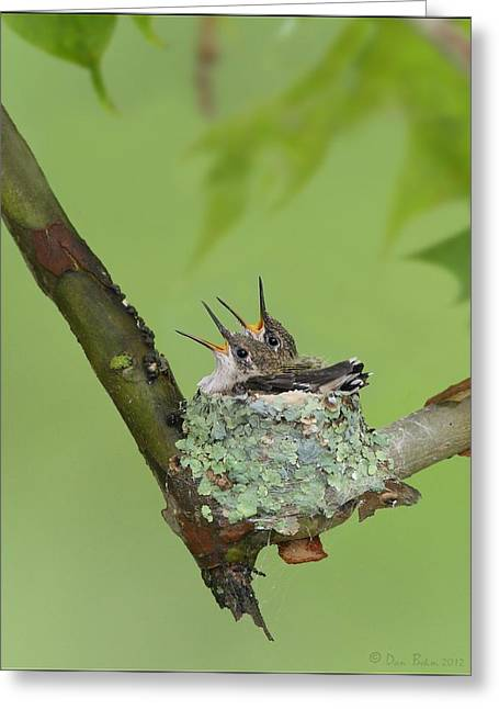 Birds Pyrography Greeting Cards - Baby Hummingbirds Greeting Card by Daniel Behm