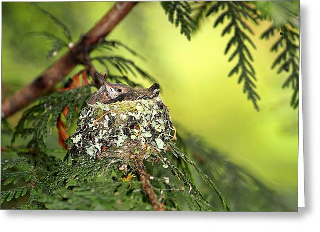 Birds In A Nest Greeting Cards - Baby Hummingbirds in a Nest Greeting Card by Peggy Collins