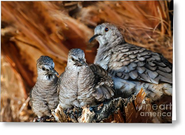 Haybale Greeting Cards - Baby Inca Doves Greeting Card by Robert Bales