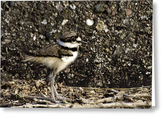 Killdeer Greeting Cards - Baby Killdeer 1 Greeting Card by Thomas Young