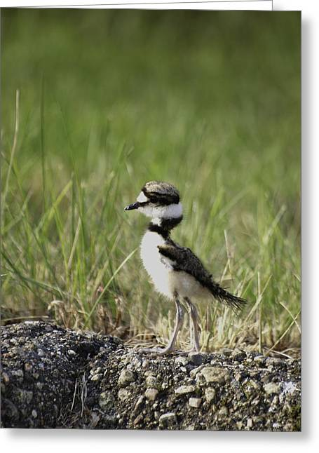 Killdeer Greeting Cards - Baby Killdeer 2 Greeting Card by Thomas Young