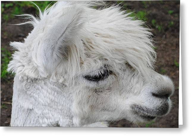 Pack Animal Greeting Cards - Baby Llama Greeting Card by Ellen Henneke
