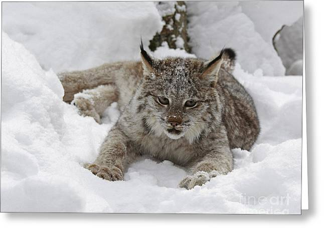Baby Lynx In A Winter Snow Storm Greeting Card by Inspired Nature Photography Fine Art Photography