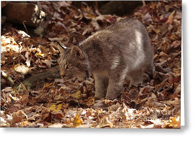 Shelley Myke Greeting Cards - Baby Lynx on the Look Out Greeting Card by Inspired Nature Photography By Shelley Myke