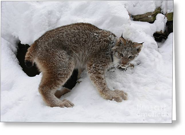 Baby Lynx Staying Close To Its Winter Den Greeting Card by Inspired Nature Photography Fine Art Photography