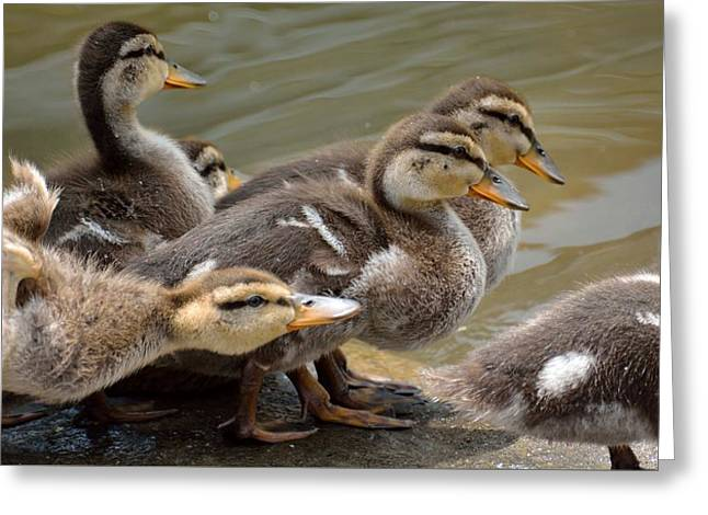 Baby Mallards Greeting Cards - Baby Mallards Greeting Card by Todd Hostetter