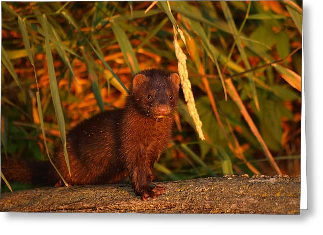 Peterson Nature Photography Greeting Cards - Baby Mink Greeting Card by James Peterson