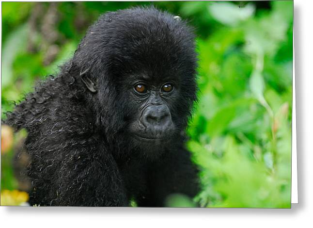 Stefan Carpenter Greeting Cards - Baby Mountain Gorilla Greeting Card by Stefan Carpenter