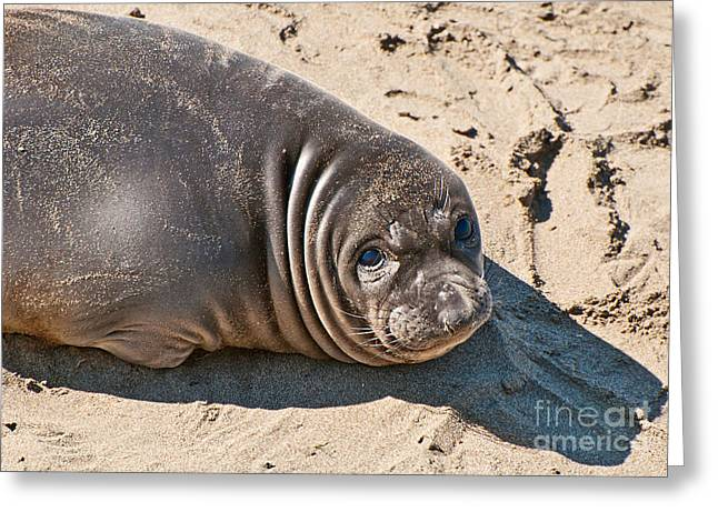 Elephant Seals Greeting Cards - Baby Northern Elephant Seals Mirounga angustirostris at the Piedras Blancas beach Greeting Card by Jamie Pham