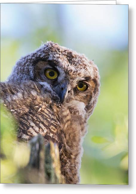 Fledglings Greeting Cards - Baby Owl Portrait Greeting Card by Angie Vogel