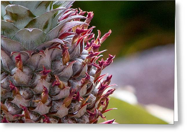 Sustainable Gardening Greeting Cards - Baby White Pineapple Greeting Card by Denise Bird