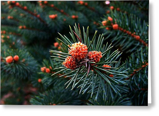 Pine Cones Greeting Cards - Baby Pinecones Greeting Card by Julie Dant