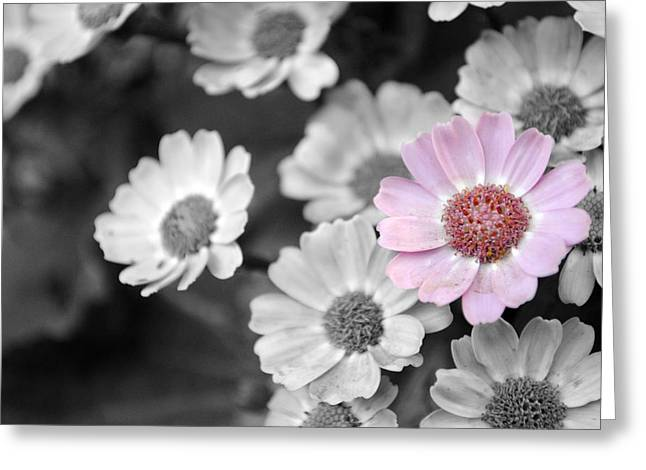 Monochromatic Greeting Cards - Baby pink  daisy Greeting Card by Sumit Mehndiratta