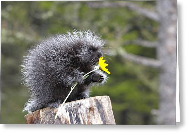 Baby Porcupine With Flower Greeting Card by M. Watson