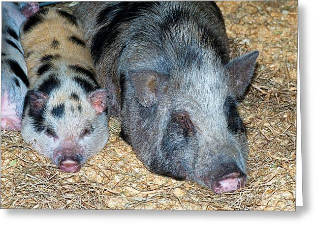 Pig Photographs Greeting Cards - Baby Pot Bellied Pig With Mother Greeting Card by Millard H. Sharp