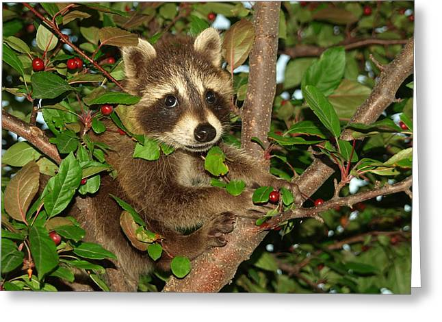 Peterson Nature Photography Greeting Cards - Baby Raccoon Greeting Card by James Peterson