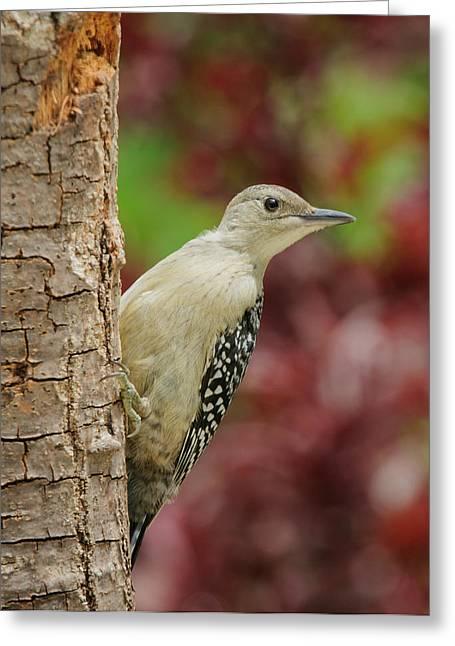 Baby Bird Greeting Cards - Baby Red Bellied Woodpecker Greeting Card by Lara Ellis