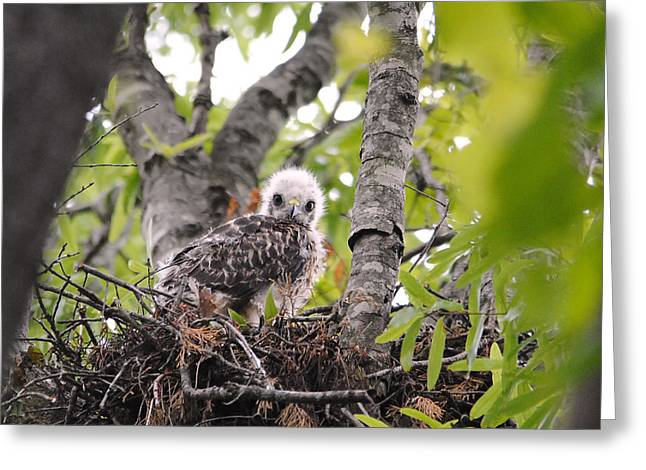 Red Shouldered Hawk Greeting Cards - Baby Red Shouldered Hawk Greeting Card by Jai Johnson