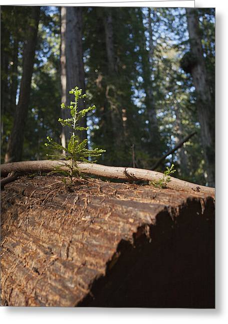 Division: Pinophyta Greeting Cards - Baby Redwood Greeting Card by Joel Moranton