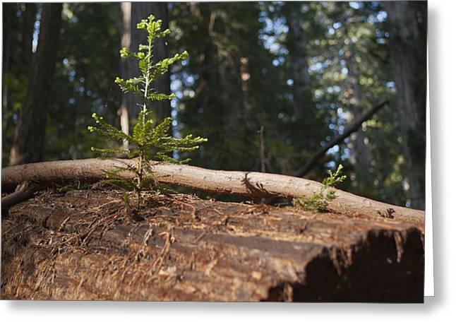 Baby Redwood Greeting Card by Joel Moranton