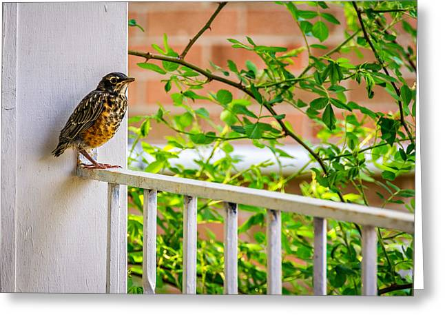 Baby Bird Greeting Cards - Baby Robin - Such a Big World Greeting Card by Steve Harrington