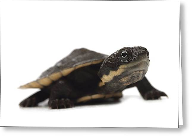 Saw Greeting Cards - Baby saw-shelled turtle Greeting Card by Science Photo Library